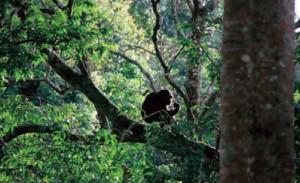 Nyungwe Forest, monitoring wild chimpanzees, Rwanda