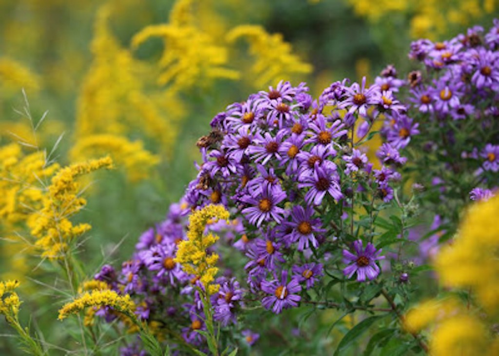 "About goldenrods and asters: ""When I am in their presence, their beauty asks me for reciprocity, to be the complementary color, to make something beautiful in response."" ~ Robin Wall Kimmerer"