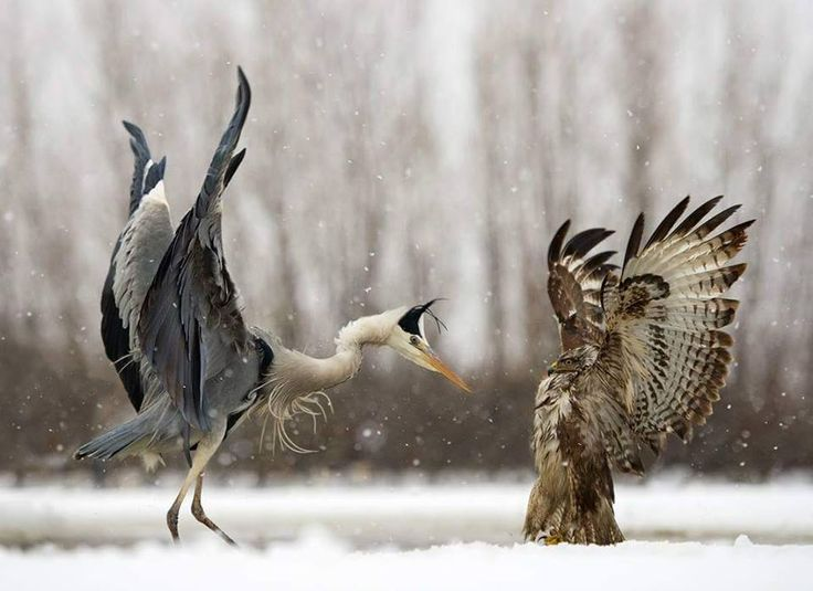 Great blue heron and red-tailed hawk in a face off. Photo by Georg Scharf