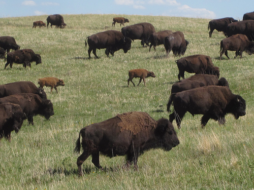 buffaloes-in-custer-state-park.500x375