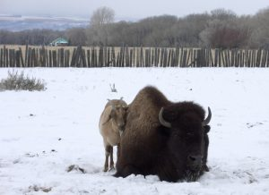 Josie the Goat huddles with Rosebud the Bison