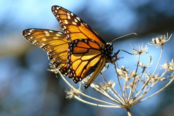 Essay | Monarch Butterfly on the Deck