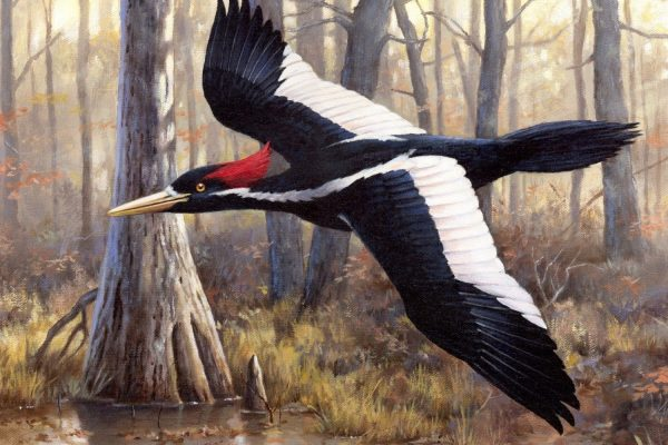 The Pileated Woodpecker: Avian Divinity in a Time of Chaos