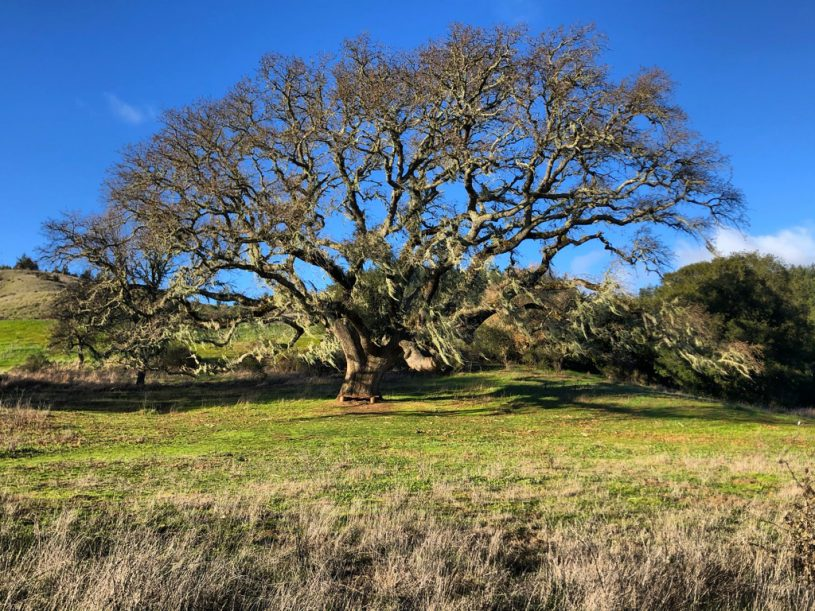 In Marin County, the California Oak tree is playing a critical role in ecological restoration efforts, including the rewilding of public land in San Geronimo.