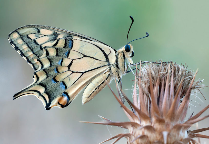 Wing underside view of a Swallowtail [Papilio machaon]. Erdemli, Mersin, Turkey. Zeynel Cebeci CC Wikimedia