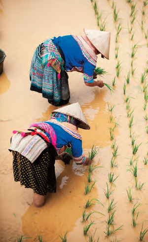 Indigenous women in Vietnam plant rice. Forty million die of hunger annually.