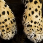 Panthera onca palustris_Paws_El Puma Park