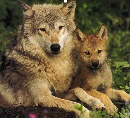 wolf-family