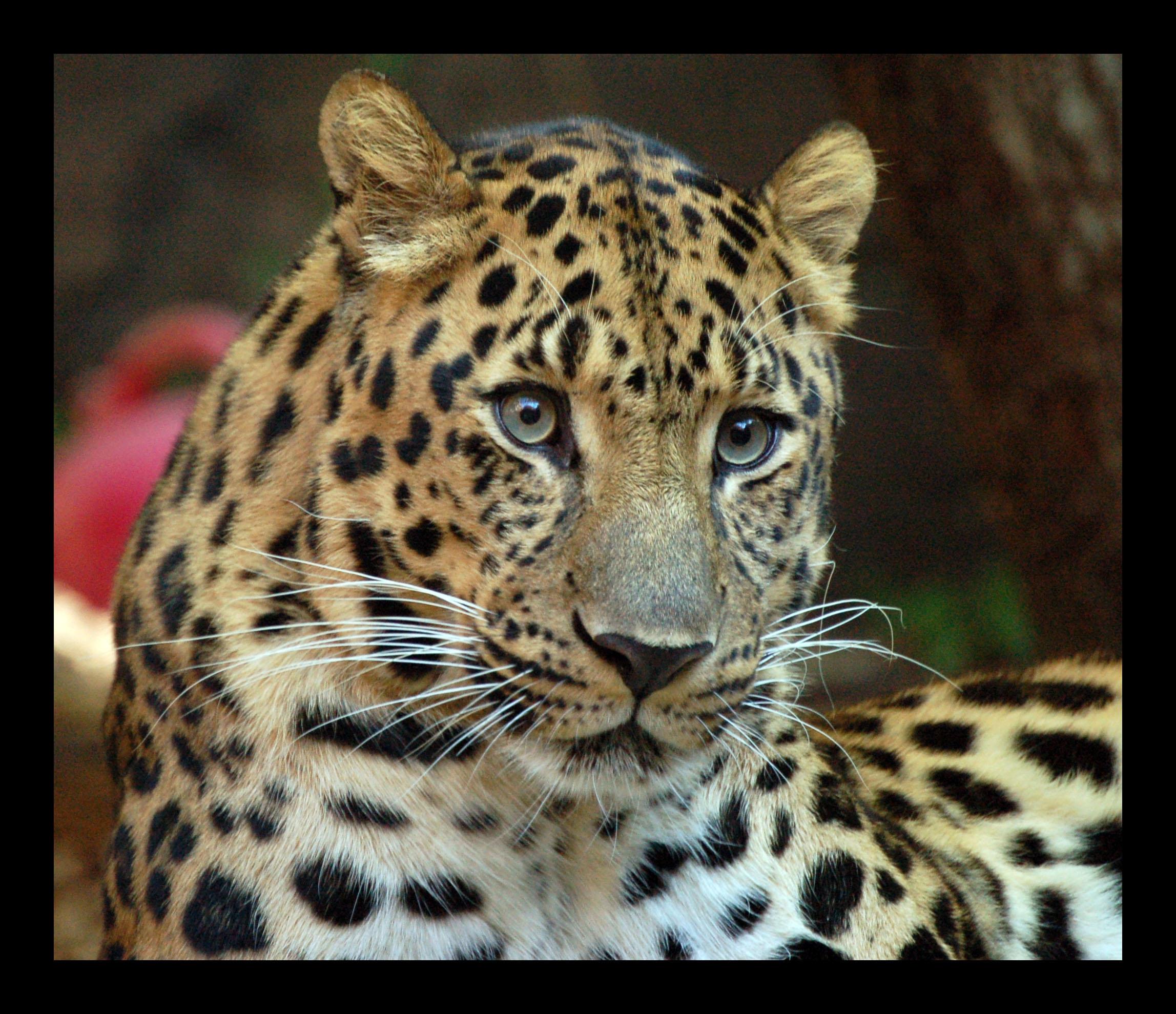 Critically endangered Amur Leopard