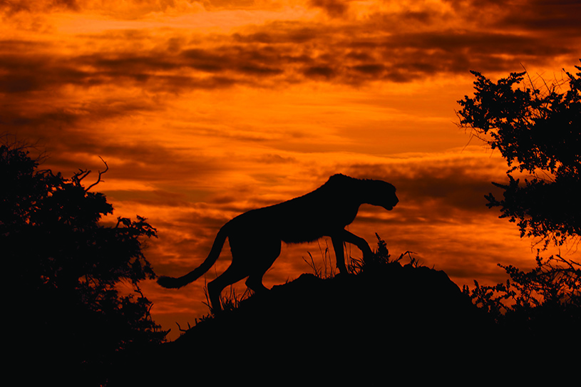 Cheetah against a fiery sky in Botswana. photography | Arturo de Frias Marques, Wikimedia Commons, CCbySA4 International