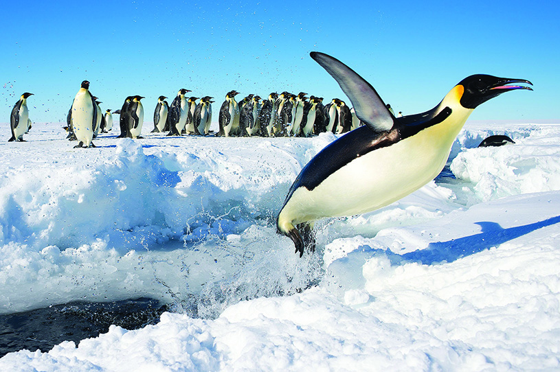 Emperor penguins in Antarctica. photography by Christopher Michel, CCbySA2.0