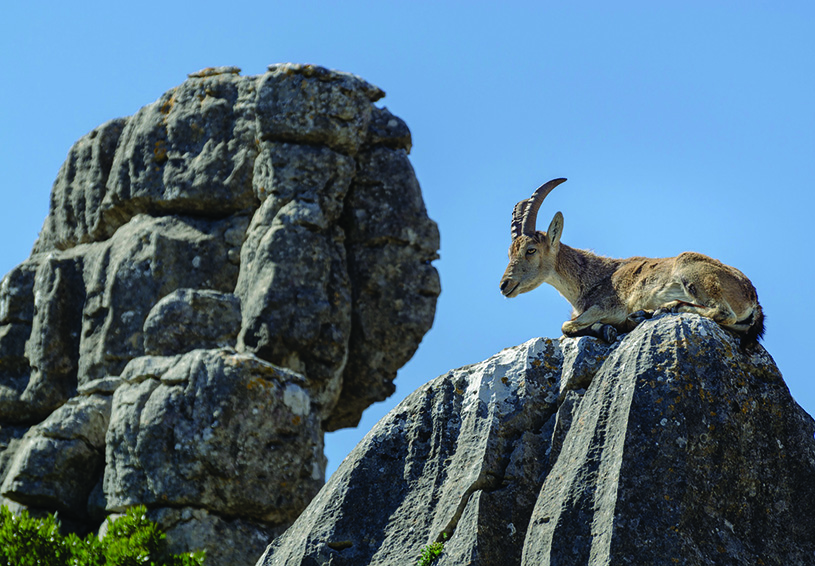 Spanish ibex in Lorcal, Andalusia. photography | Tuxyso, Wikimedia Commons, CCbySA3.0