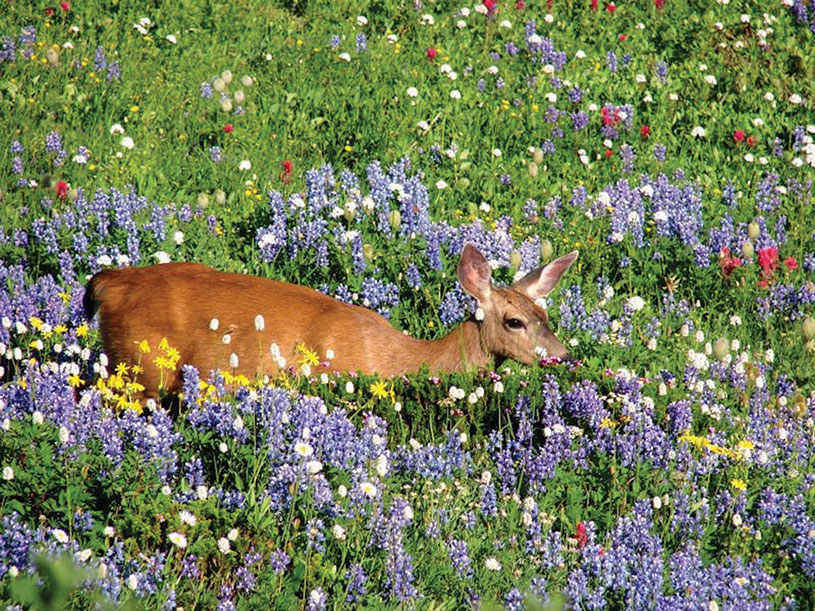 A black-tailed deer wades through one of the lush wildflower meadows at Mount Ranier. photography | National Park Service, Steve Redman
