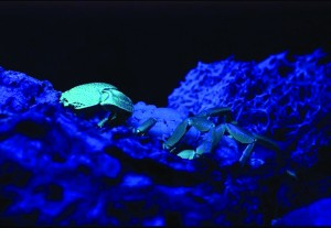 Scorpion and young glowing under ultraviolet light. photography | ©Dan L. Perlman | EcoLibrary 2008 DP109