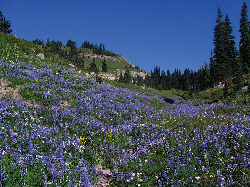 Lupine Meadow. photography | National Park Service, Bev Killam