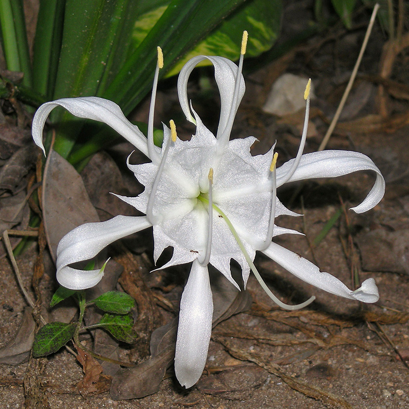 Pancratium zeylanicum flower, indigenous to India and the islands of the Indian Ocean. Uoaei1, CCWikimedia