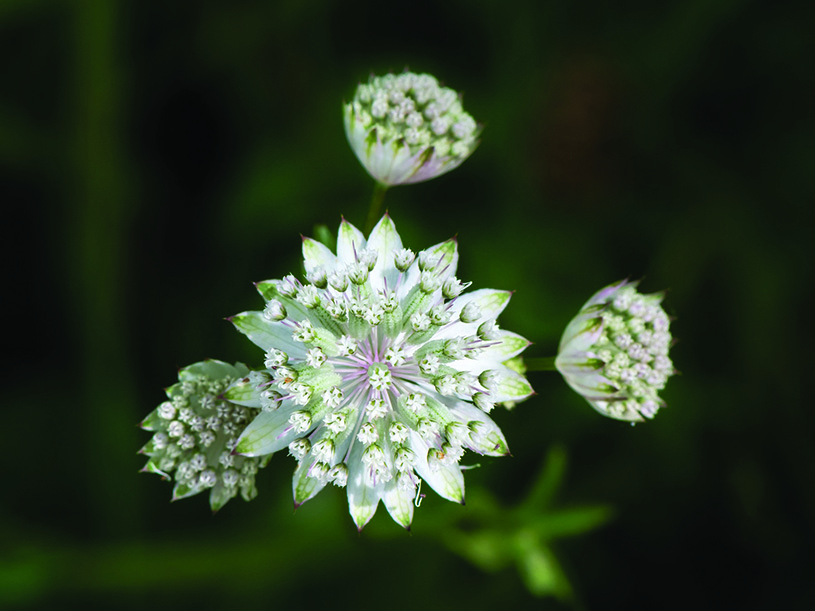 Great Masterwort (Astrantia major), found near Mitterbach am Erlaufsee, Lower Austria.  Muhammad Mahdi Karim, CC Wikimedia